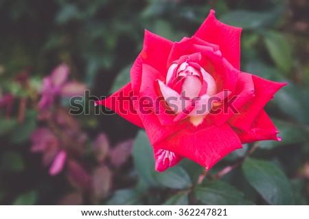 Perfect dark pink rose, green background, retro photo - stock photo