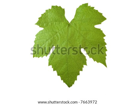 perfect grape-leaf with clipping path isolated on white background.Please take a look at my other images of grape-leaves - stock photo