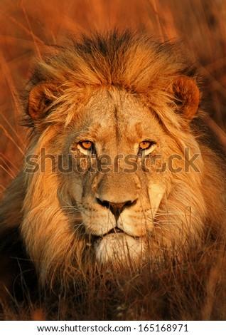 Perfect Lion - stock photo