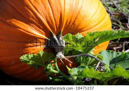 Perfect orange Pumpkin - stock photo