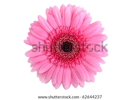 Perfect Pink Gerbera, completely isolated on white background