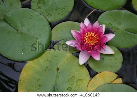Perfect pink lilly pad in a pond