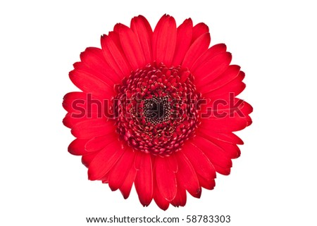 Perfect Red Gerbera, completely isolate on white background