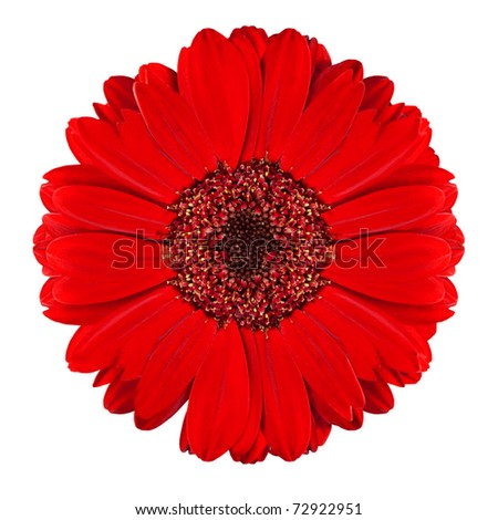 Perfect Red Gerbera Flower Closeup Isolated on White Background - stock photo