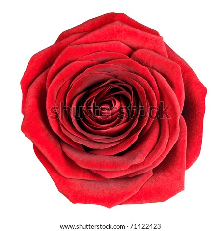 Perfect Red Rose Flowerhead Isolated on White Background. Top View on Big Red Rose Flower - stock photo