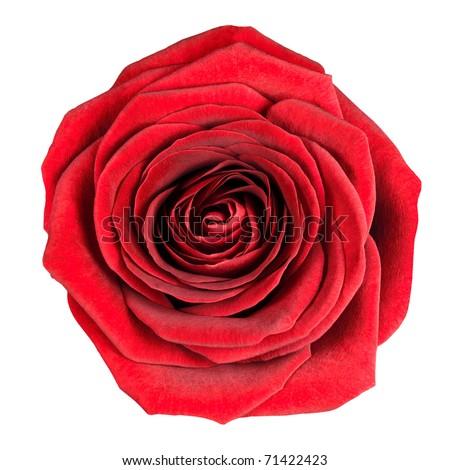 Burgundy rose stock images royalty free images vectors - Big rose flower wallpaper ...
