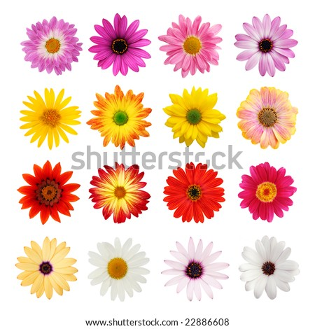 Perfect spring daisies isolated on white with clipping path - stock photo