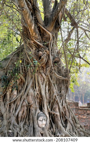 perfect unusual tree with branches from the Buddha's head in the ancient city - stock photo