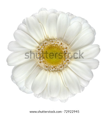 Perfect White Gerbera Flower with Yellow Center Macro Closeup Isolated on White Background - stock photo