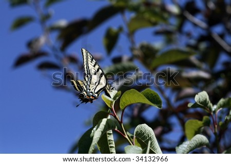 Perfect Yellow Monarch Butterfly resting on the leaves of a tree - stock photo