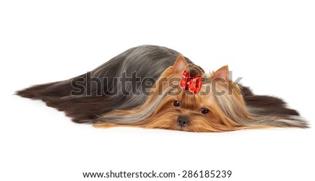 Perfectly groomed Yorkshire Terrier with scattered very long hair isolated over white                                 - stock photo