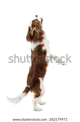 performing pure-bred dog, puppy Cavalier King Charles Spaniel, stand up on hind legs, isolated - stock photo