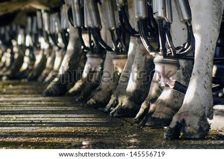 PERIA, NZ - JULY 07:Row of cows legs in a milking facility on July 07 2013.The income from dairy farming is now a major part of the New Zealand economy, becoming an NZ$11 billion industry by 2010. - stock photo