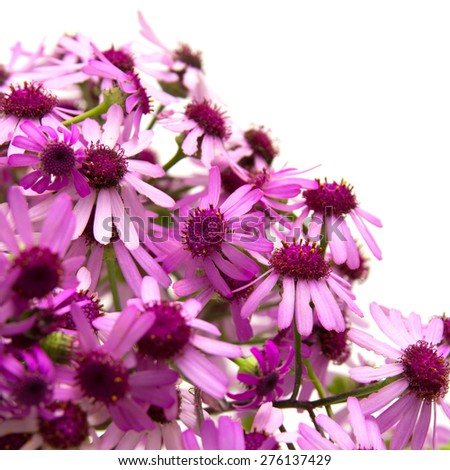 Pericallis webbii, commonly known as May flower isolated on white - stock photo