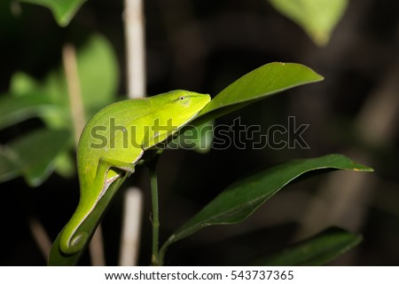 Perinet chameleon, (Calumma gastrotaenia) is a species of chameleon in its natural habitat. Andasibe - Analamazaotra National Park, Madagascar wildlife and wilderness