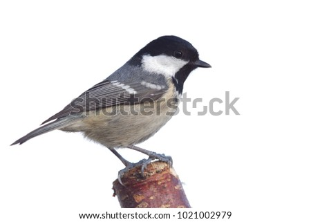 periparus ater  titmouse on white background