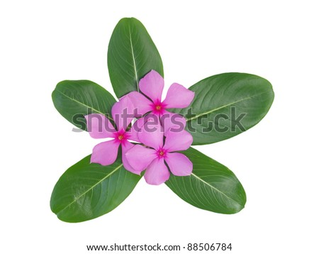 Periwinkle flower isolated over white background - stock photo