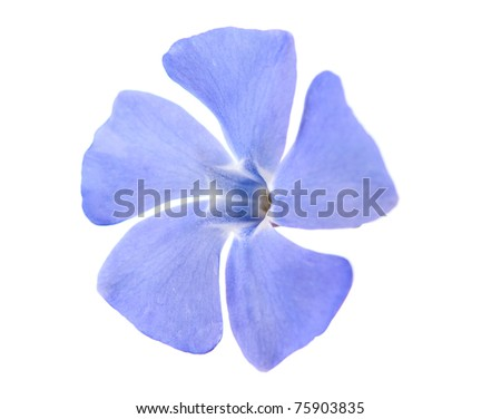 periwinkle flower on a white background - stock photo
