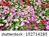Periwinkle flowers in garden  - stock