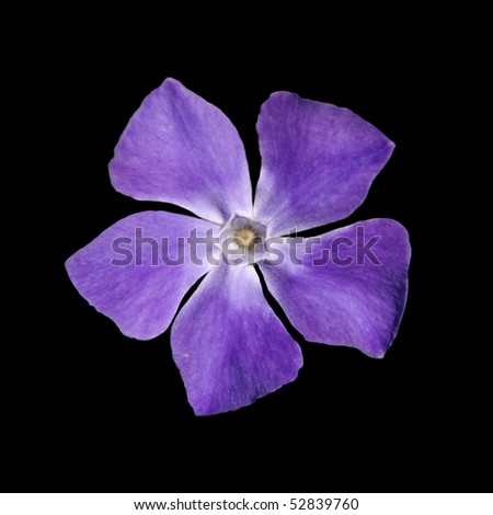 Periwinkle purple flower - Vinca minor - isolated on Black - stock photo