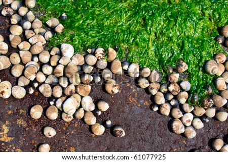 periwinkles cover a rock at low tide - stock photo