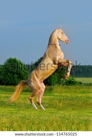 perlino akhal-teke horse rearing - stock photo
