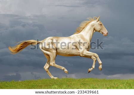 perlino akhal-teke horse runs free in the field - stock photo