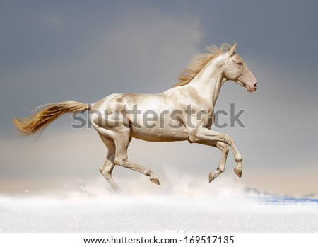 perlino akhal-teke stallion in snow - stock photo