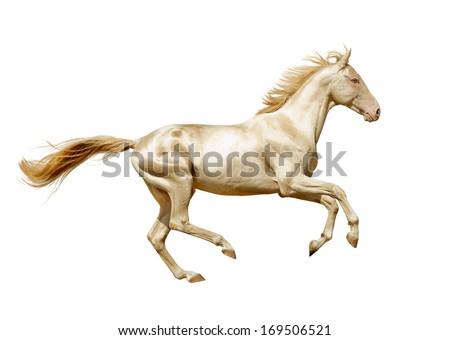 perlino alhal-teke horse isolated on white - stock photo