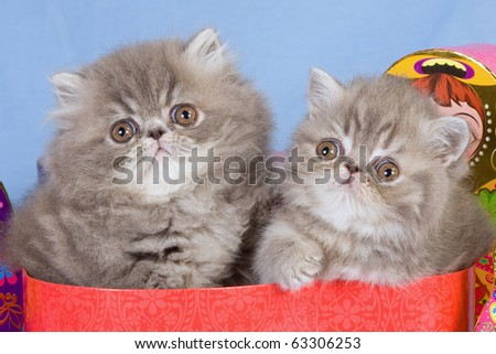 Persian and Exotic kitten in red box - stock photo