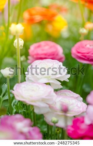 Persian buttercup flowers (ranunculus flower) in garden - stock photo