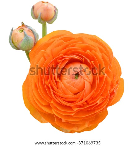 Persian buttercup flowers (ranunculus), isolated white - stock photo