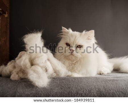 Persian cat and a pile of cat hair - stock photo