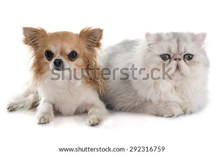 persian cat and chihuahua in front of white background - stock photo