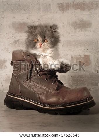"persian cat ""Basilia"" in a shoe - stock photo"