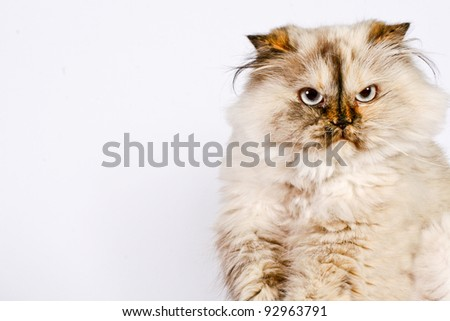 Persian Cat Frowning - stock photo