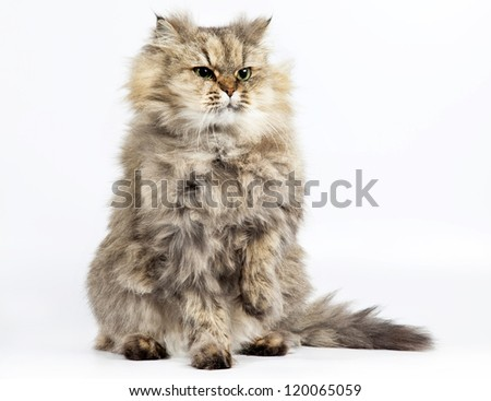 Persian cat golden chinchilla with one paw raised on white background - stock photo
