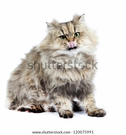 Persian cat golden chinchilla with tongue on white background - stock photo