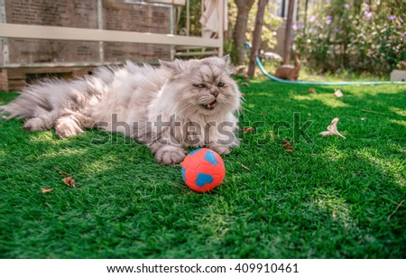 Persian cat happy/ Laughing with his ball on grass tufted in the garden. - stock photo