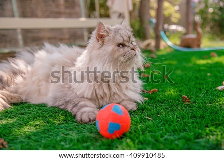 Persian cat happy with his red and blue ball on grass tufted in the home garden - stock photo