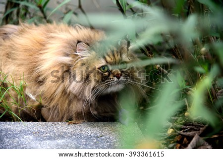 Persian Cat hidden and concentrate for catching a bird,Persian Cat hiding, Tabby cat - stock photo
