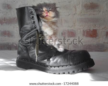 persian cat in a shoe - stock photo