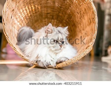 Persian cat in basket, Persian cat in a rattan basket, A white persian cat close-up - stock photo