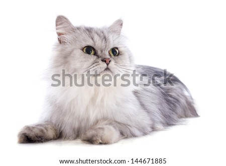 persian cat in front of a white background - stock photo