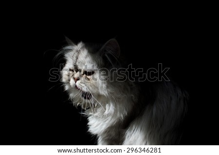 Persian cat in shadow