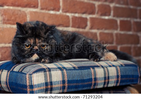 persian cat in turtle colors on a chair - stock photo