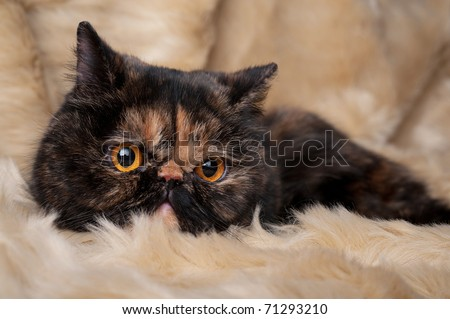 Persian cat in turtle colors on beige background - stock photo
