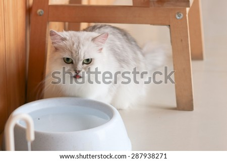 Persian cat is drinking the water - stock photo