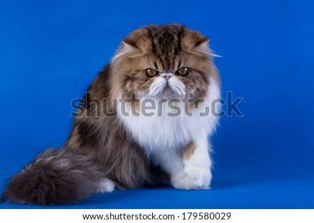 Persian cat, isolated, chroma key - stock photo