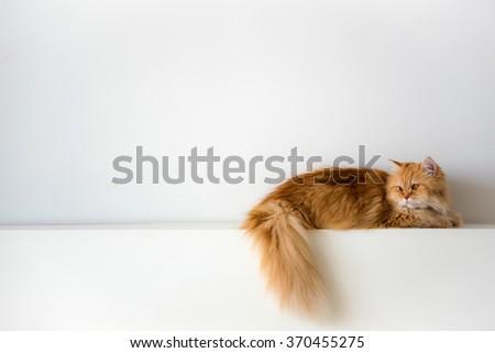 Persian cat laying on white wall  - stock photo